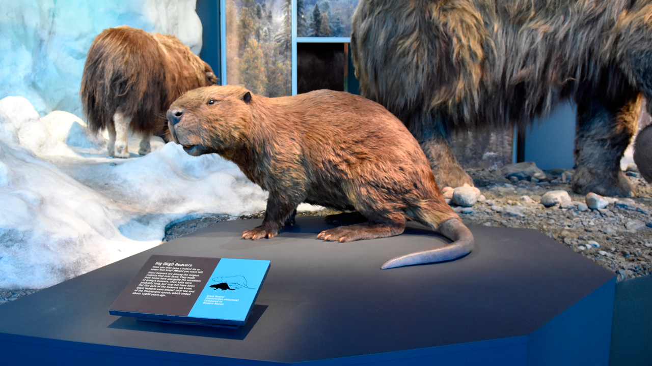 Close up image of beaver display at Bell Museum