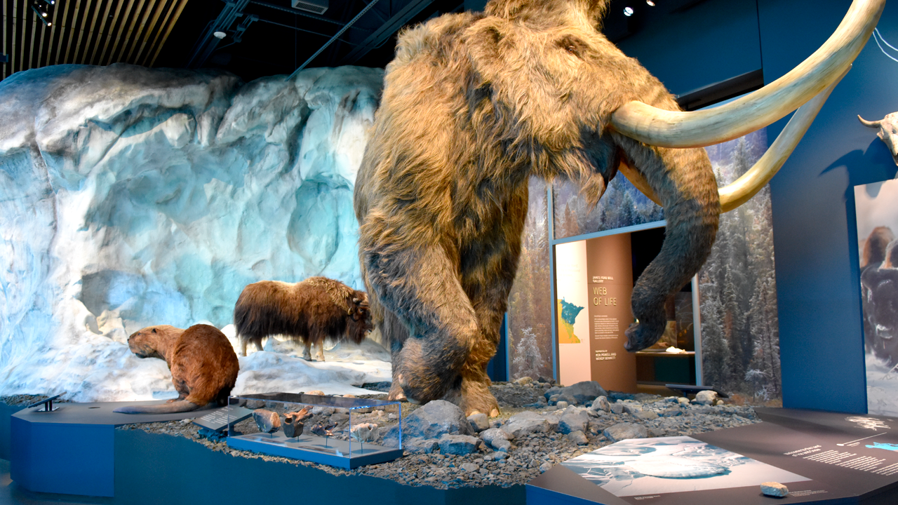 Display of mammoth, beaver, and bison at the Bell Museum