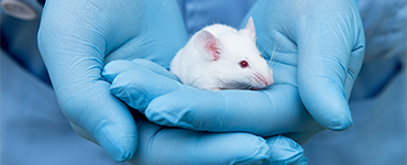 white mouse in held in the hands of blue gloved hands
