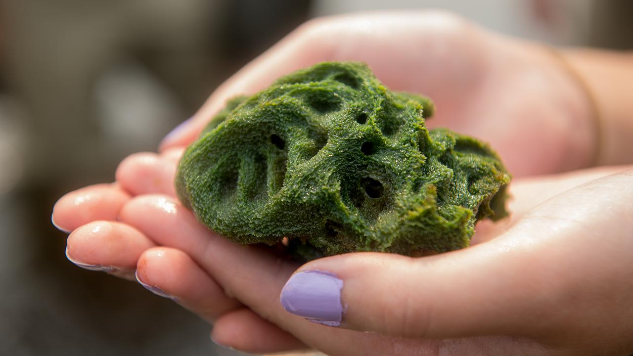 A freshwater sponge.