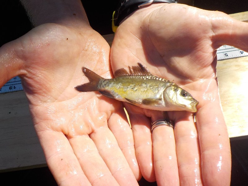 Jordan Wein, general manager of Carp Solutions, holds a very young mirror carp, a type of common carp not entirely covered with scales, that was caught in a trap net.