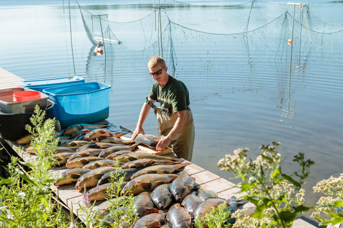 Jordan Wein, general manager of Carp Solutions, measures adult carp after they were caught using a box net.