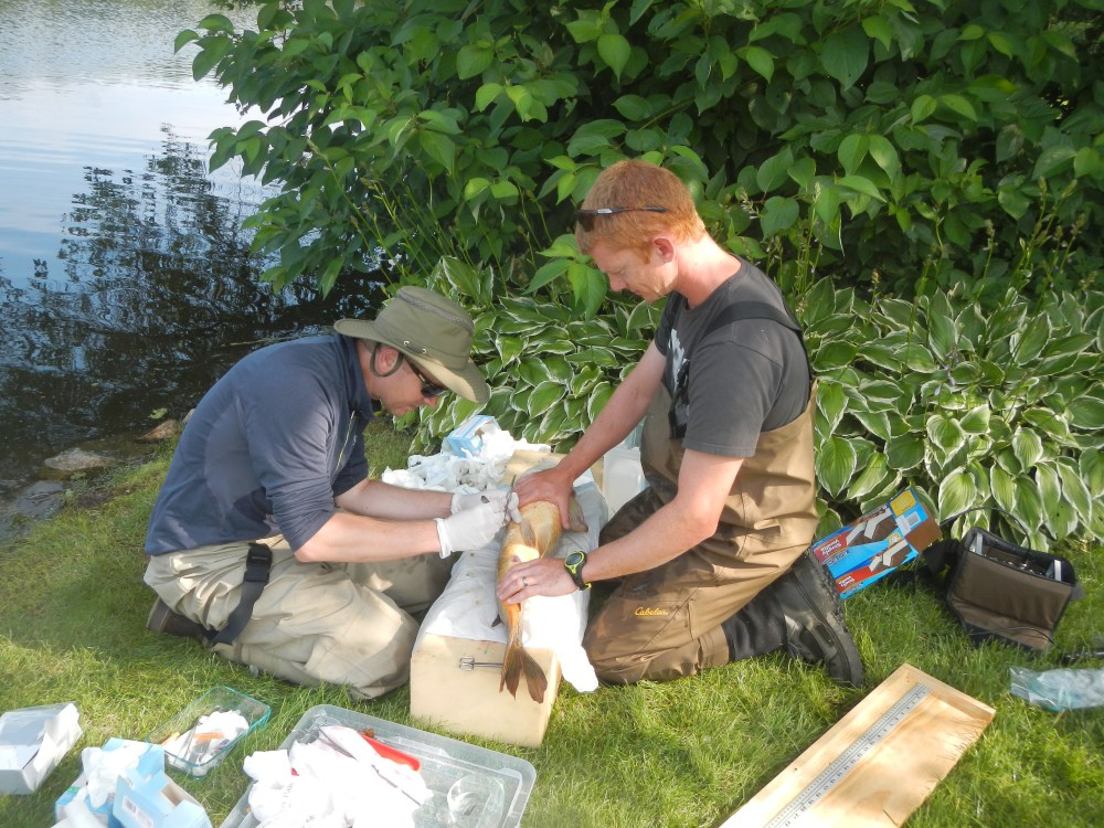 CEO Przemyslaw Bajer, left, and general manager Jordan Wein of Carp Solutions implant a radio transmitter into an adult carp caught at Minnesota's Lake Ardmore.