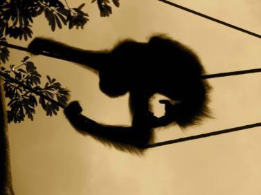 Silhouette of an orangutan at the Semenggoh Wildlife Reserve on the island of Borneo in Sarawak, Malaysia