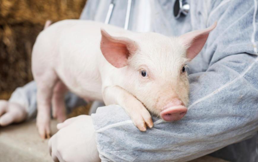 Piglet with veterinarian