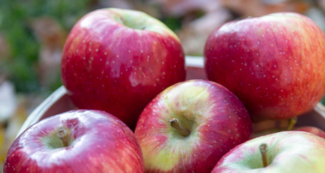 Several Triumph apples in a basket in an orchard