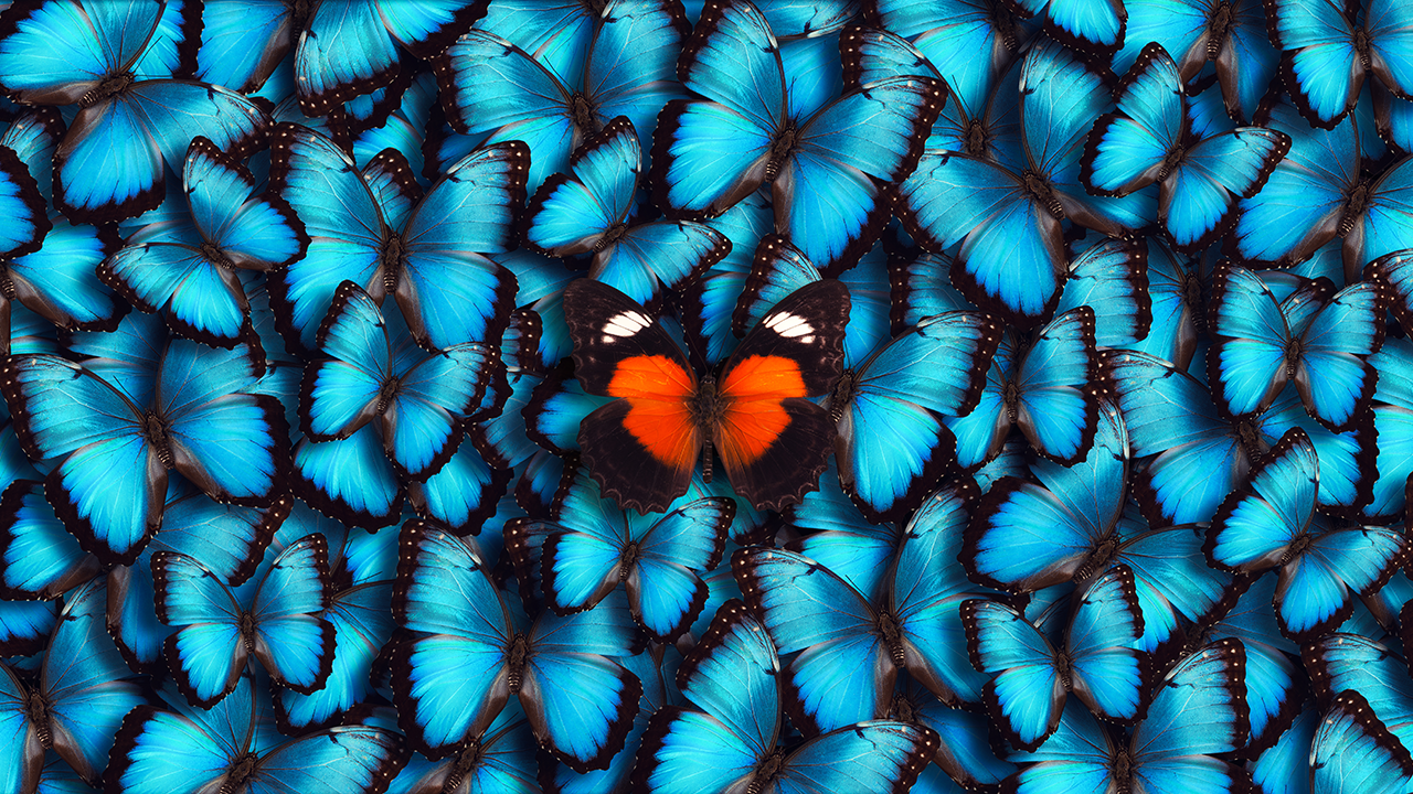 Multitude of blue butterflies with a single orange butterfly atop them