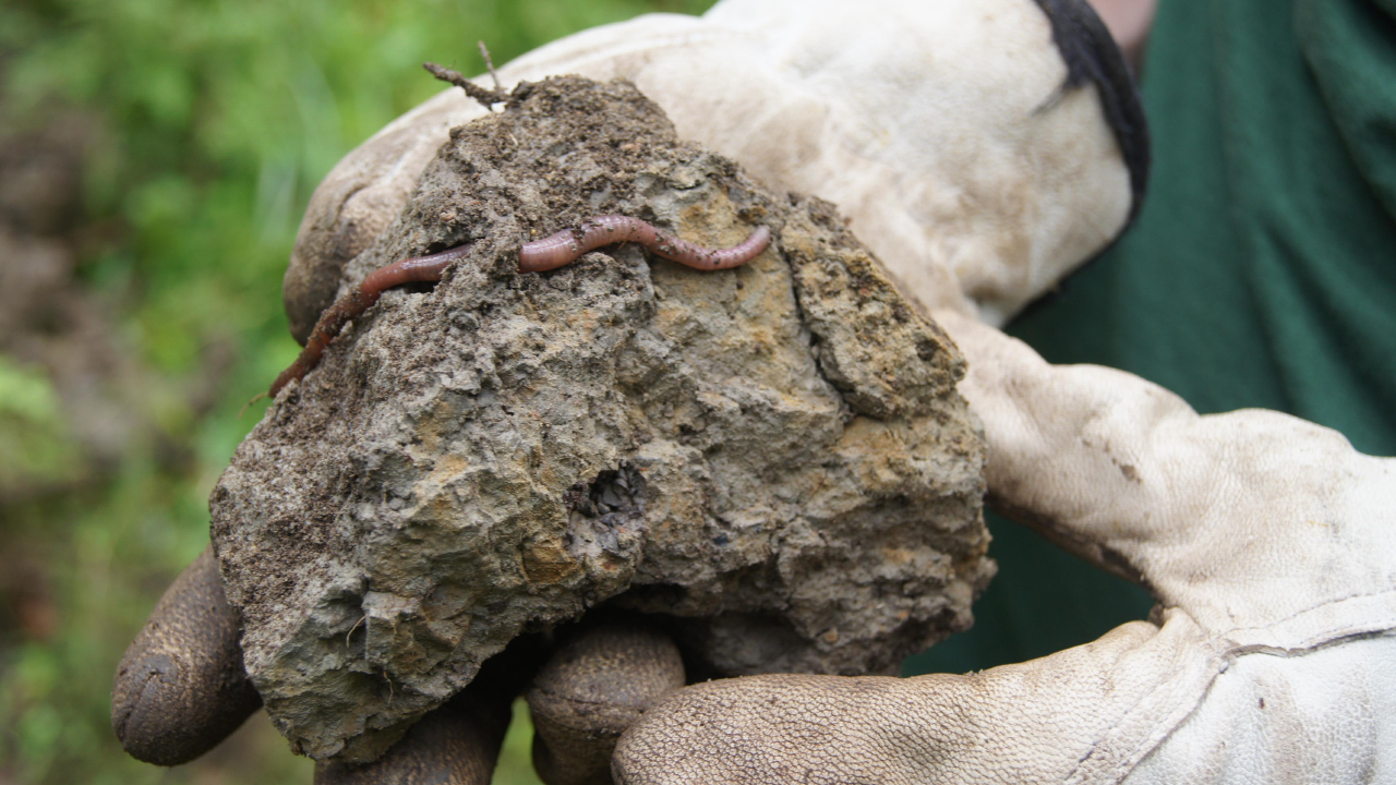 Close-up view of earthworms in a chunk of soil