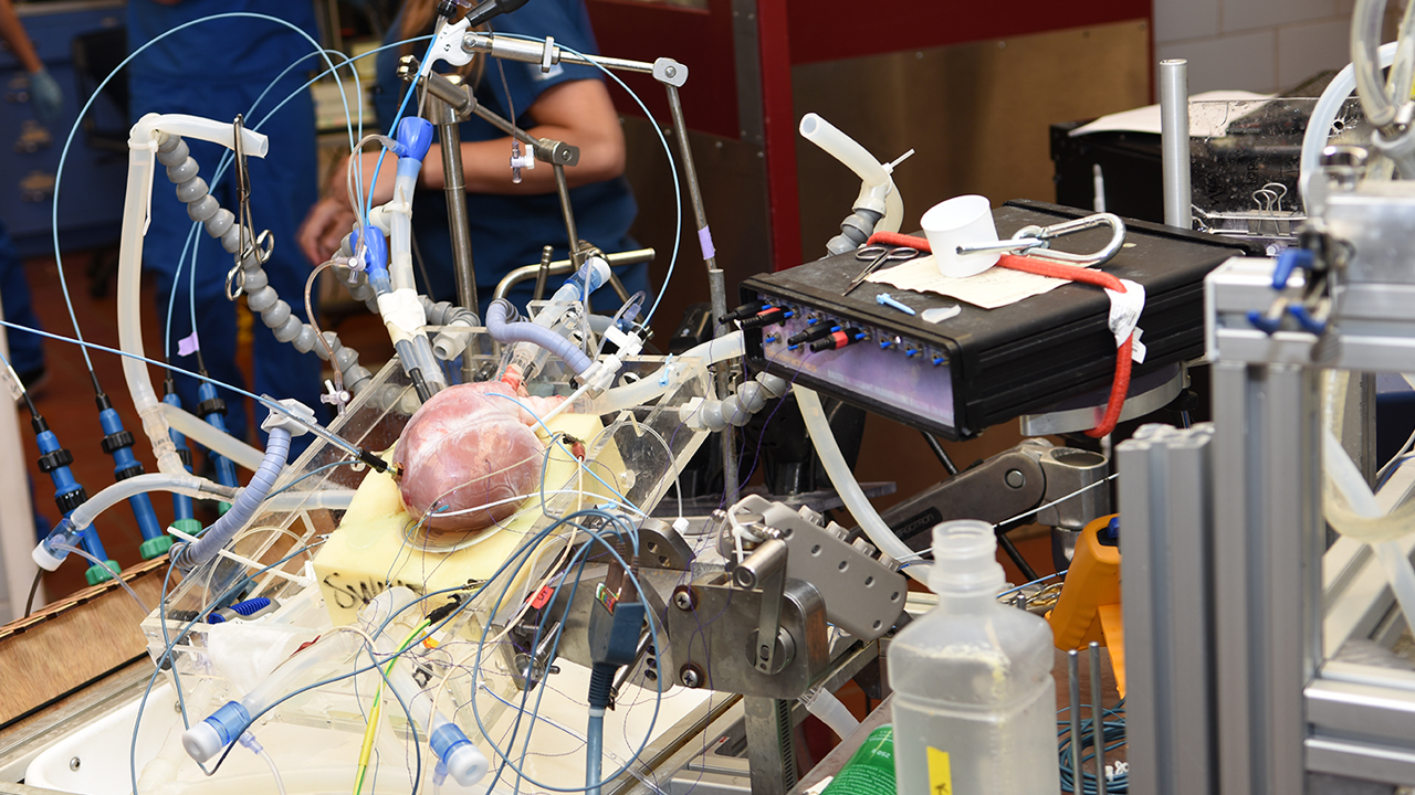 A pig's heart, hooked up to equipment that keeps it beating, in the Visible Heart Lab