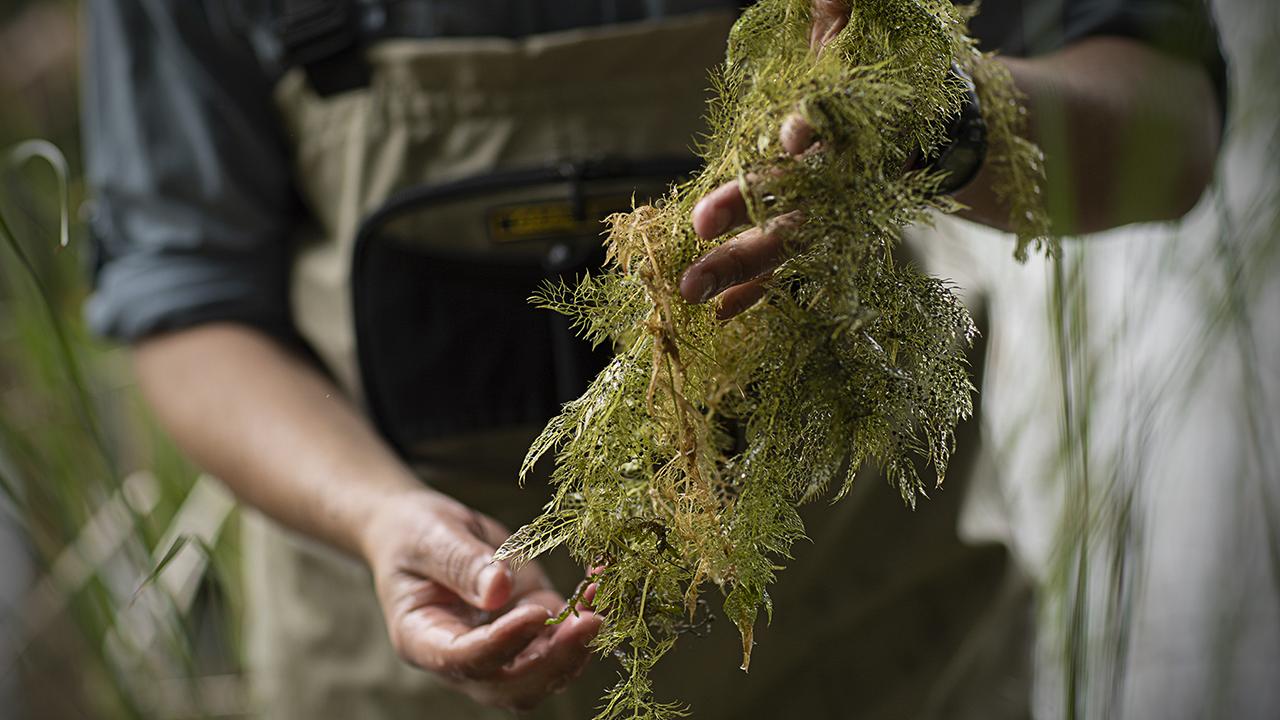 Aquatic invasive plant