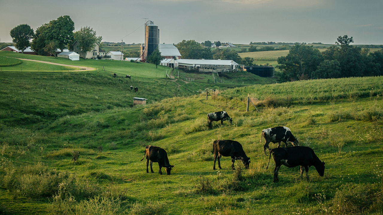 Livestock grazing in a field on a farm