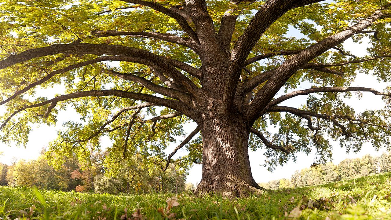 Oak tree in a sunny field