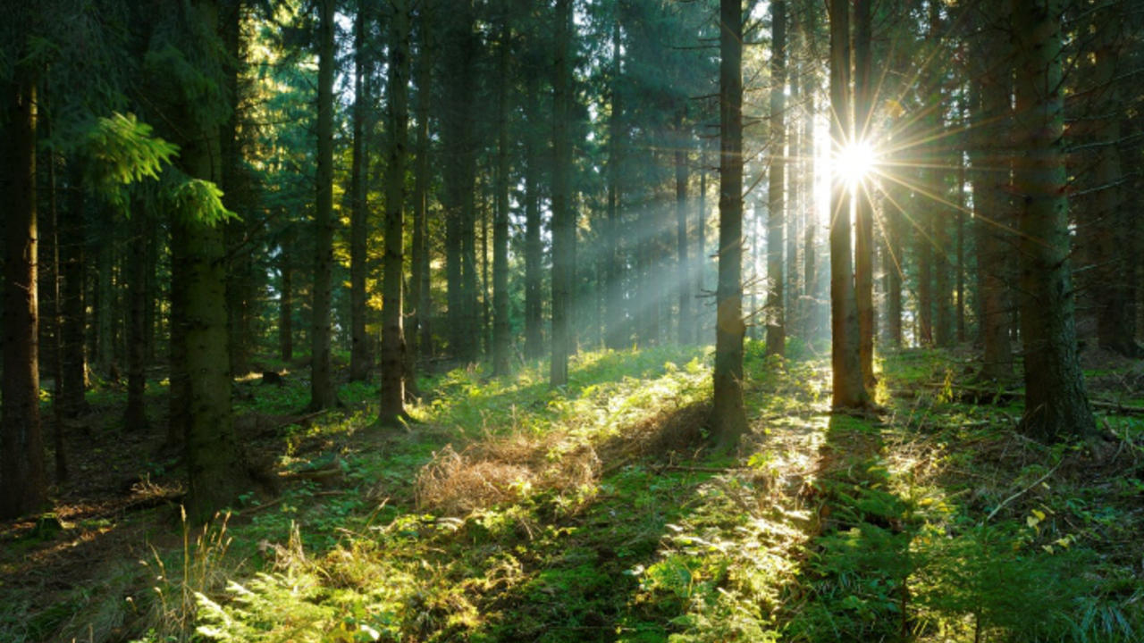sunbeams in a forest