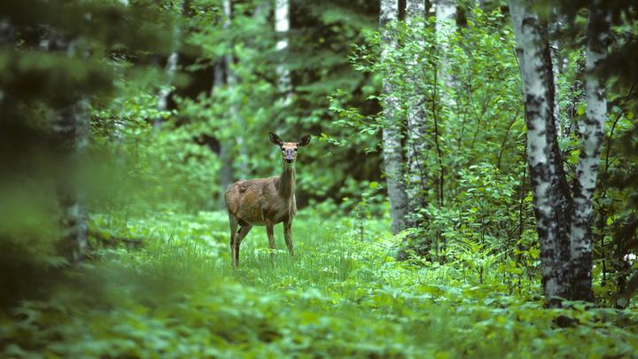 Deer standing in the woods