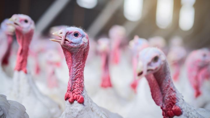 Turkeys on a farm