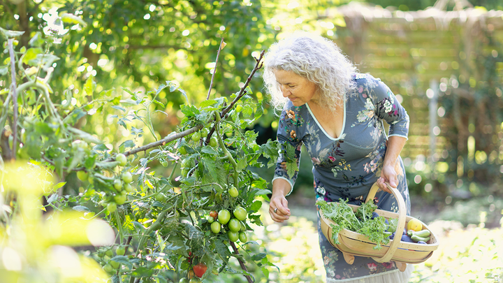 Senior woman picking vegetables in garden