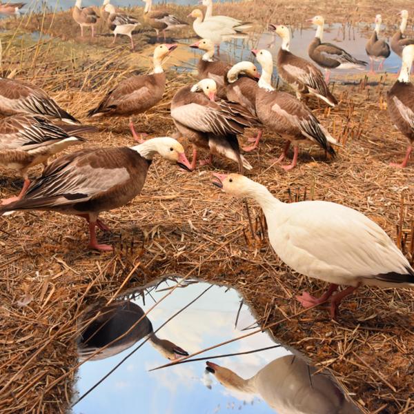 Bell Museum diorama of various ducks