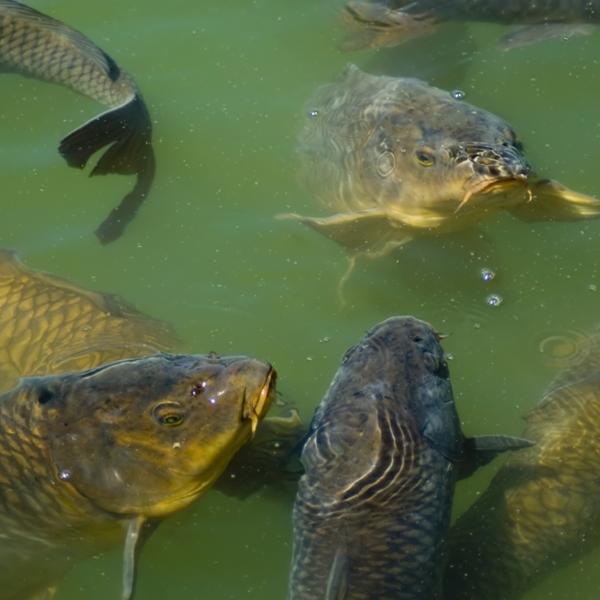 Carp feeding in a pond