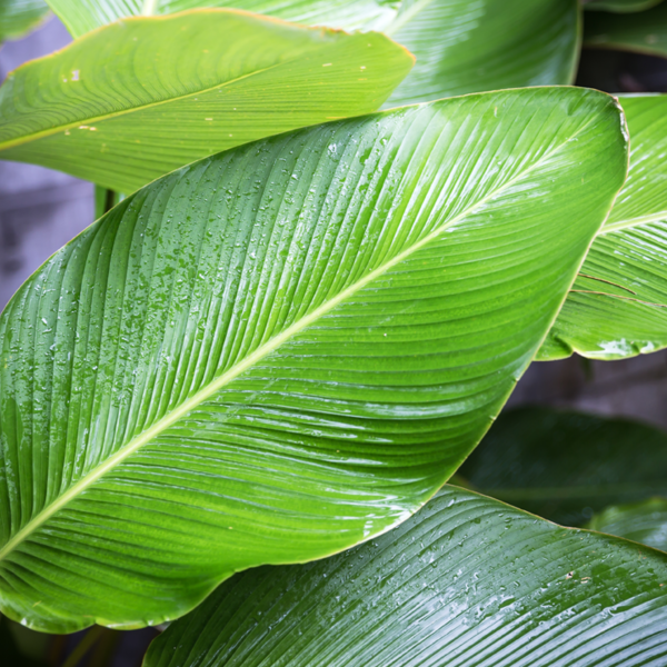large leaves on a plant