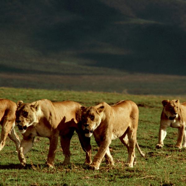 Pride of lions travels together