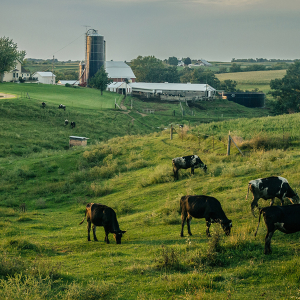 Livestock grazing in a field on a farm