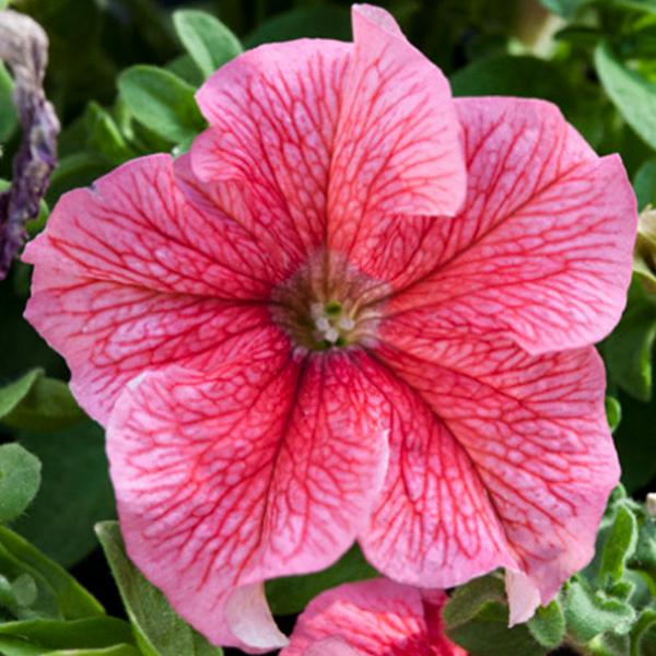 Pink Enigma flower