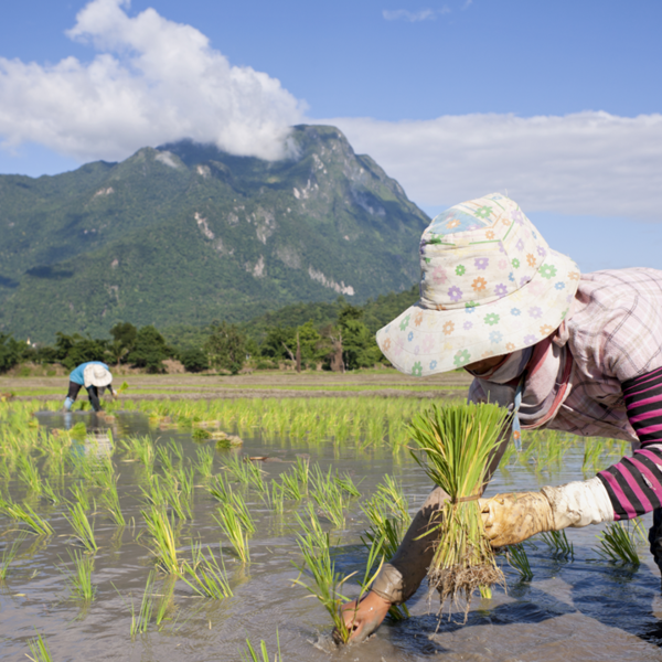 Farm laborers plant rice seedlings in Thailand