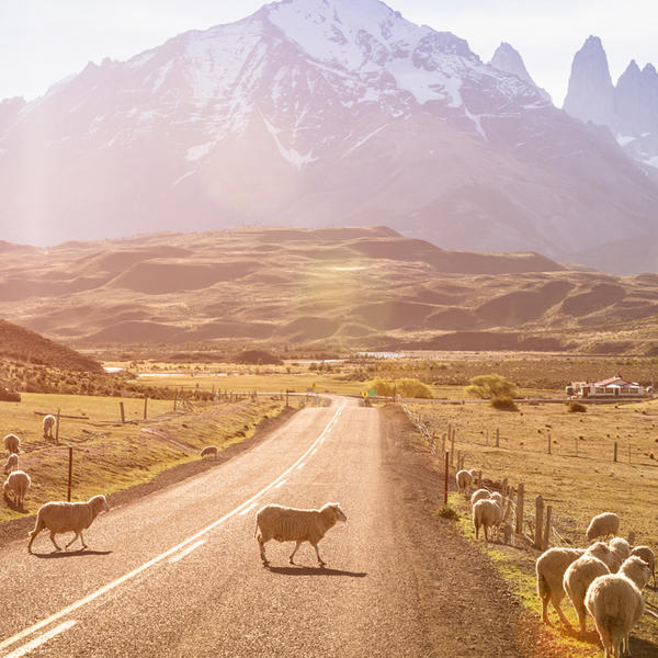 Sheep grazing near a road and mountain