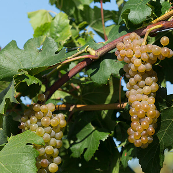 itasca grape on the vine